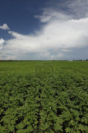Healthy okra field