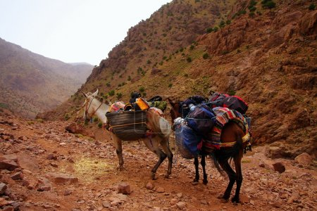 A pair of moroccan donkeys of white and braun resting with their carriage on the adventurous journey in rocky   desert mountains, having their heads turned to the valley, maybe slightly overloaded.
