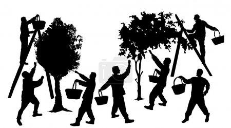 Silhouettes of people harvesting fruit