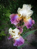 White and purple iris flowers