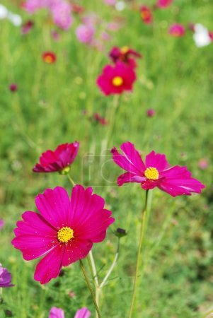 Beautiful and colorful cosmos field