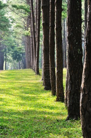 Photo pour Tall pine trees with shadow on green grass - image libre de droit