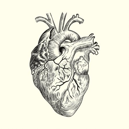 Illustration for Human heart. Sketch hand drawn vector illustration - Royalty Free Image