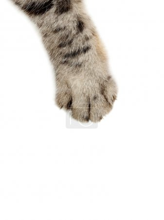 Cat paw on white