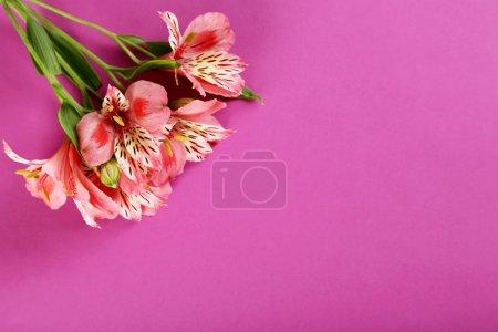 Beautiful alstroemeria flowers
