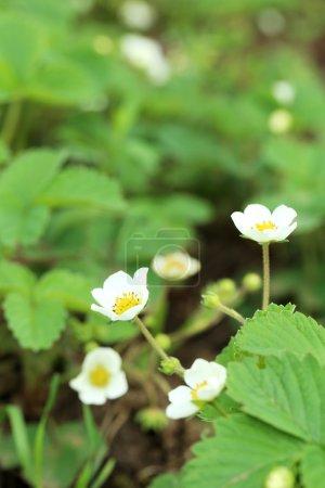 Photo pour Fleurs de fraise dans le jardin, à l'extérieur, gros plan - image libre de droit