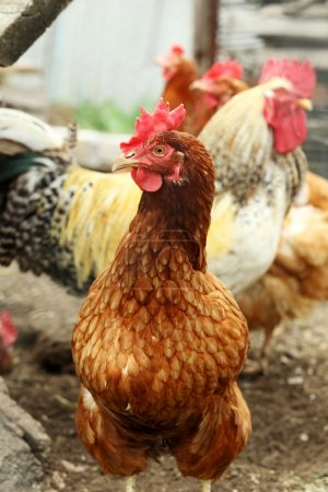 Domestic brown hen