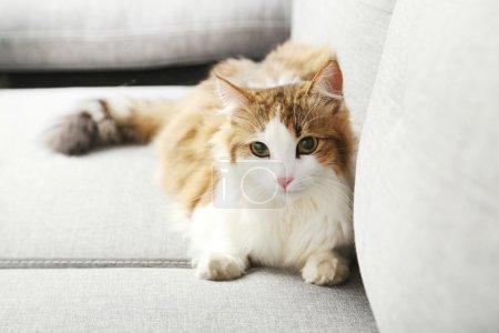 Photo pour Beau chat sur un canapé gris, gros plan - image libre de droit