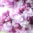 Blooming purple lilac flowers, close up...