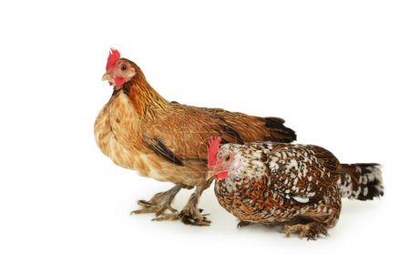 Hens isolated on white