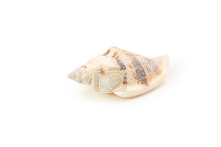 Beautiful tropical sea shell