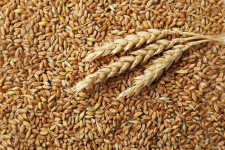 Photo pour Épis de blé et fond de grains de blé - image libre de droit