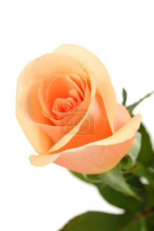 Single orange rose