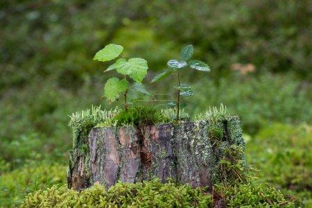 Photo pour Deux petits gaules, mousse et lichen poussant sur un tronc d'arbre dans la forêt . - image libre de droit