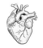 Human heart. illustration.