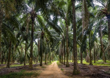 Mature palm oil plantation in Malaysia