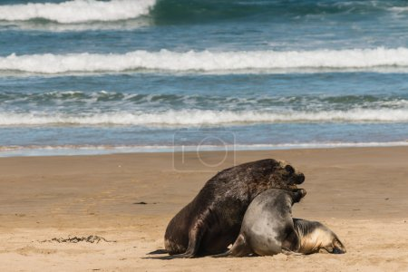 Mating New Zealand sea lions