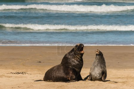Photo for Hooker's sea lions in courtship on sandy beach - Royalty Free Image