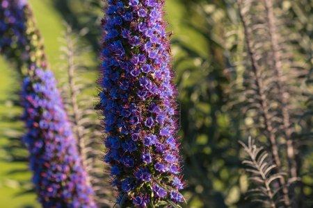 Photo pour Gros plan de fierté des fleurs de madère - image libre de droit