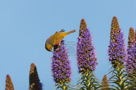 Photo pour Pollinisation des oiseaux Fierté des fleurs de Madère - image libre de droit