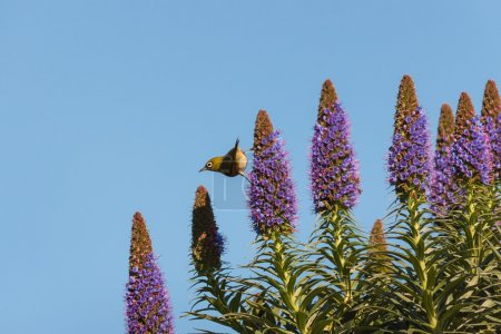 Photo pour Oiseau chanteur se nourrissant de fleurs Fierté de Madère - image libre de droit