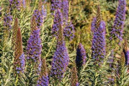 Photo pour Gros plan de fleurs d'Echium candicans - image libre de droit
