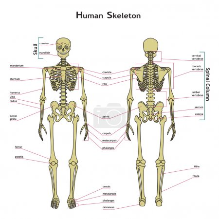 Human skeleton, front and rear view with explanatations.