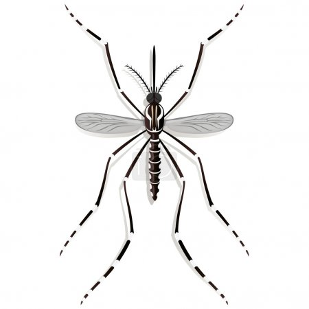 Nature, Aedes Aegypti Mosquito stilt, top view. Ideal for informational and institutional related sanitation and care