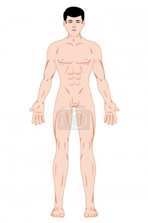 Illustration representing Maculino Human Body Anatomy. Ideal for catalogs, information and first aid guides
