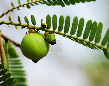 Phyllanthus Emblica, Indian Gooseberry
