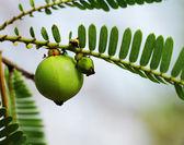 Phyllanthus Emblica, indiai egres