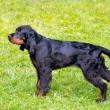The Gordon Setter is on the grass....