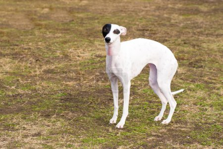 Whippet stands in the park.