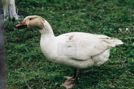 Goose walking in farm land