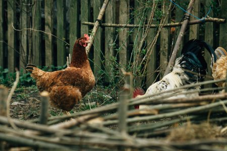 Hens and rooster walking in farm land
