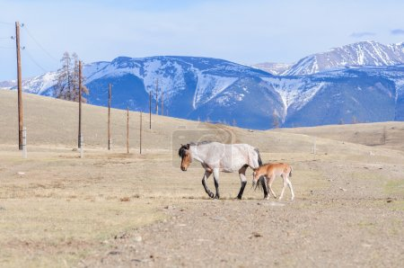 Horses striding in Altai steppe