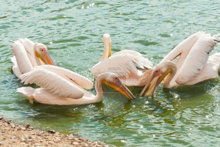 White pelicans wading in  pond