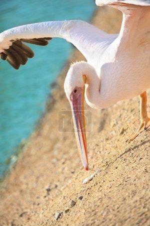 Pelican walking on  beach