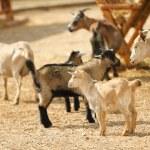 Grazing she-goats in the farm...