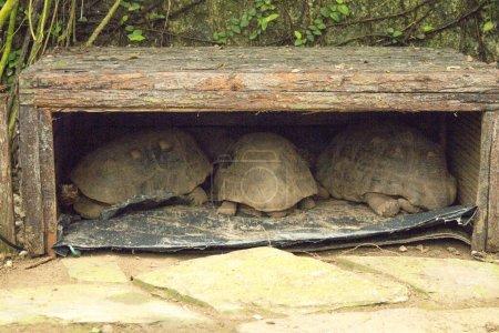Several carbonaria chelonoides tortoise sleeping i...