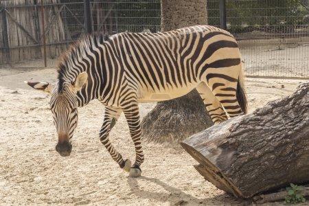 Equus quagga, Plains zebra