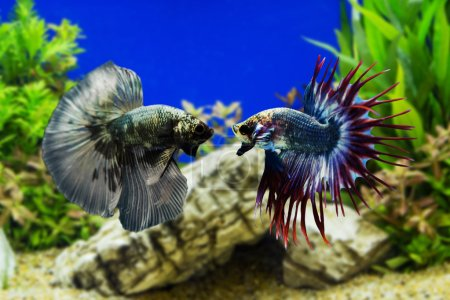Betta fish, Siamese fighting fish with green plants