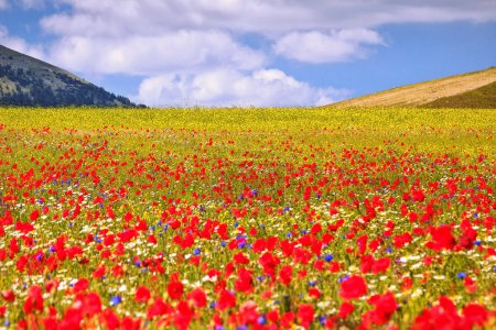The plain of Castelluccio - Italy, in bloom during...