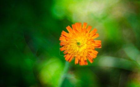 Orange weed flower, Hawkweed, of genus Hieracium.