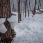 Постер, плакат: Maple sugar shack in the winter woods Buckets on maple trees