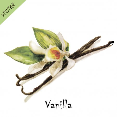 Illustration pour Vanille en aquarelle. Illustration vectorielle . - image libre de droit