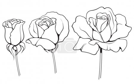 Illustration for Black and white ink  illustration of three roses - Royalty Free Image