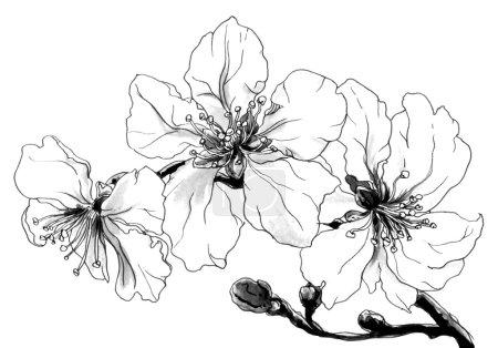 Photo pour Amande fleurs tropicales en fleur isolé sur fond blanc. Main a attiré aquarelle illustration botanique de monochrome noir et blanche pour impression de mariage, carte, invitation. Style japonais. - image libre de droit