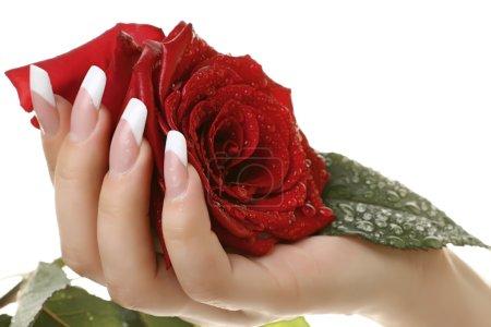 Photo pour Main de femme blanc français tenant une rose rouge. - image libre de droit