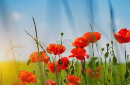 Photo for Summer field with beautiful red poppy flowers - Royalty Free Image